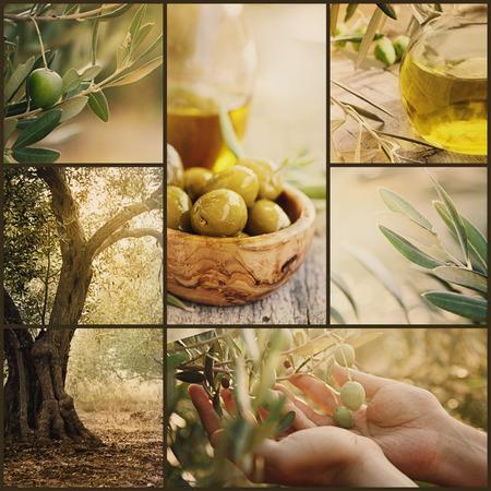 Natuur-serie. Collage van de olijfboomgaard in de oogst. Rijpe olijven, olijfolie en olijvenoogst