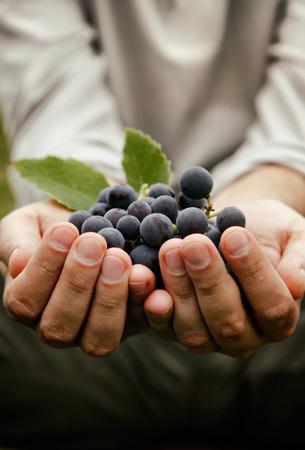 포도 수확. 갓 수확 된 검은 포도와 농부의 손.