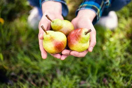 Organic fruit. Healthy food. Fresh pear in farmers hands