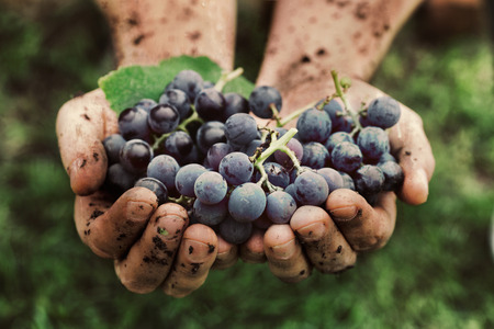 organic farming: Grapes harvest. Farmers hands with freshly harvested black grapes. Stock Photo