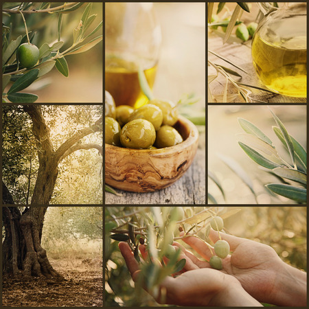 Natuur-serie. Collage van olijfboomgaard in oogst. Rijpe olijven, olijfolie en olijvenoogst