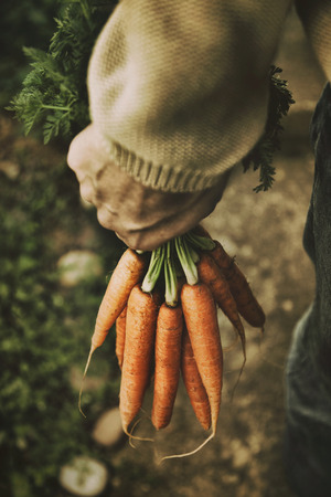 red soil: Fresh organic carrots in farmers hands