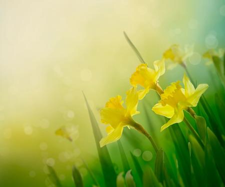 水仙の花春の背景 写真素材