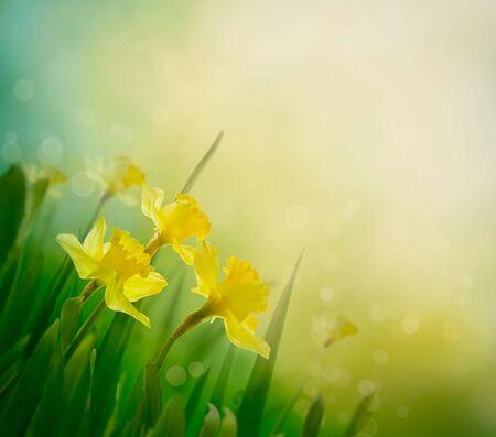 Daffodil floral spring background