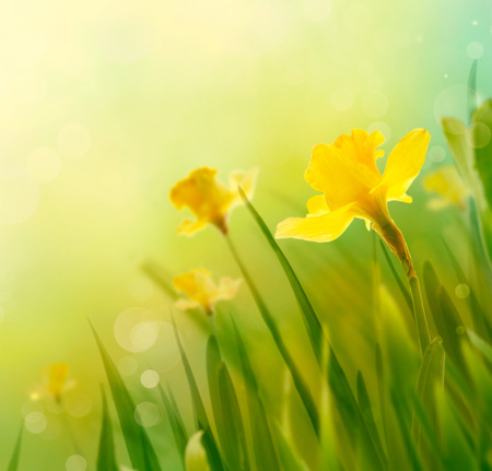 Daffodil floral spring background. Easter Spring Flowers. Elegant Mother's Day gift. Springtime green background.