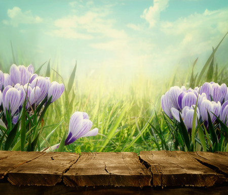 Spring background. Springtime Tabletop with spring flowers. Crocus flowers in meadow. Nature background.
