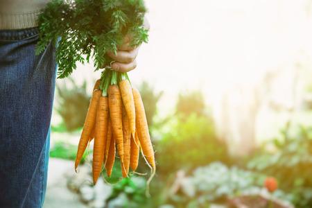 granjero: Las hortalizas orgánicas. Comida saludable. Zanahorias orgánicas frescas en manos de los agricultores