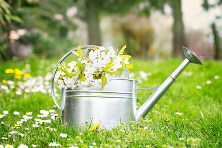 water in can: Spring garden. Water can with cherry flowers. Spring grass with flowers