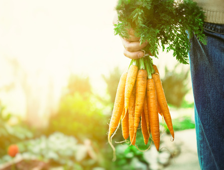 person appetizer: Organic vegetables. Healthy food. Fresh organic carrots in farmers hands
