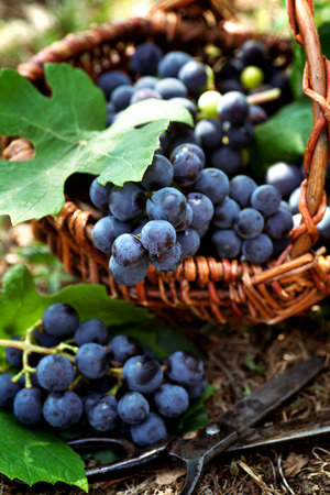 purple red grapes: Fresh harvest of grapes