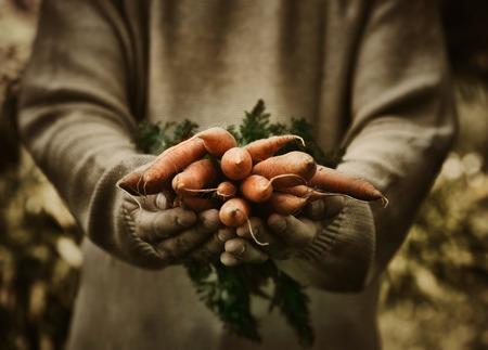 zanahoria: Zanahorias orgánicas frescas en manos de los agricultores Foto de archivo