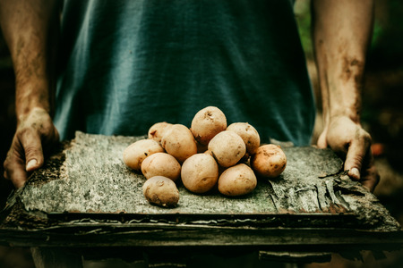 the farmer: Organic vegetables. Farmers hands with freshly harvested vegetables. Fresh bio potatoes