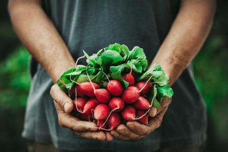유기농 야채. 갓 수확 된 야채와 함께 농부의 손. 말 무