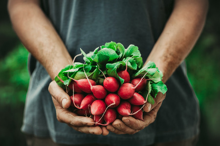 legumes: Les l�gumes bio. Les mains des agriculteurs avec des l�gumes fra�chement r�colt�s. Radis de cheval Banque d'images