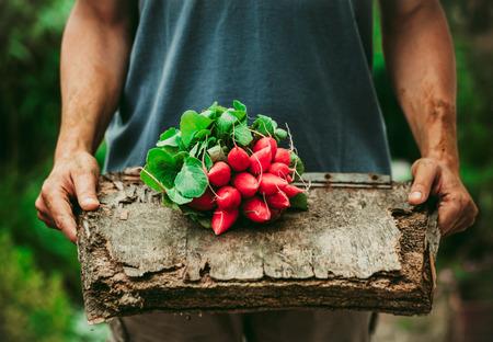 verduras verdes: Las hortalizas org�nicas. Agricultores manos con verduras reci�n cosechadas. R�bano picante Foto de archivo