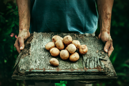 farmers: Organic vegetables. Farmers hands with freshly harvested vegetables. Fresh bio potatoes