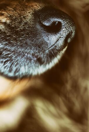 nose close up: Dog snout. Dog close up. Animal nose.