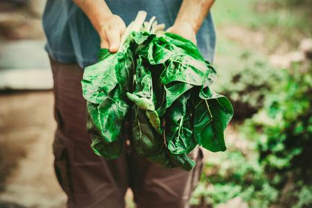 granjero: Vegetales orgánicos. Mangold en manos de los agricultores