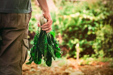 Biologische groenten. Mangold in boeren handen