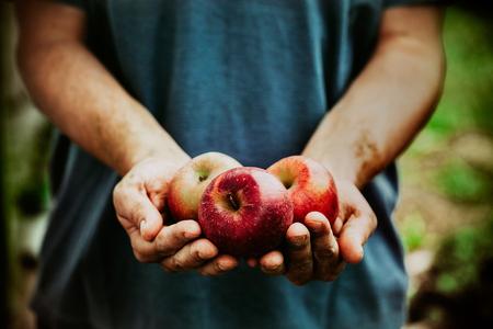 owocowy: Organiczne owoce i warzywa. Ręce rolników z świeżo zebranych jabłek. Zdjęcie Seryjne