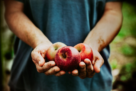 frutas: Productos de la Huerta. Agricultores manos con las manzanas recién cosechadas. Foto de archivo