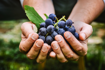 bunch: Grapes harvest. Farmers hands with freshly harvested black grapes. Stock Photo