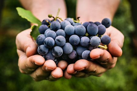 hand holding plant: Grapes harvest. Farmers hands with freshly harvested black grapes. Stock Photo