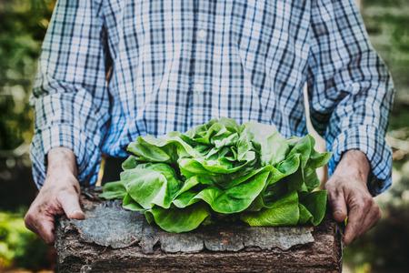 Organic vegetables. Farmers hands with freshly harvested vegetables. Fresh organic lettuce. Standard-Bild