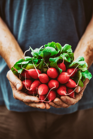 produces: Organic vegetables. Farmers hands with freshly harvested vegetables. Horse radish