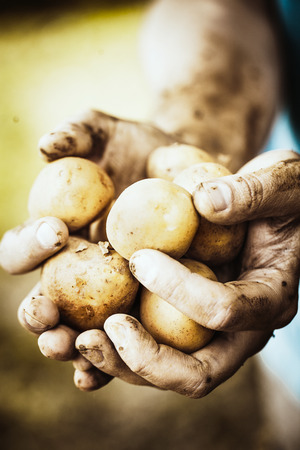 potato plant: Organic vegetables. Farmers hands with freshly harvested vegetables. Fresh bio potatoes