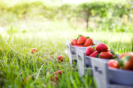 Fresh fruit. Strawberries in grass  Spring fruit. Spring nature Banco de Imagens