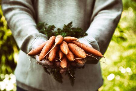 Vegetales orgánicos. Comida sana. zanahorias orgánicas frescas en manos de los agricultores
