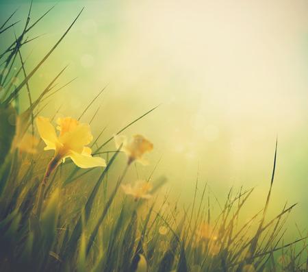 Daffodil floral spring background. Easter Spring Flowers. Elegant Mothers Day gift. Springtime green background.
