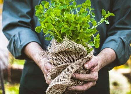 Organic vegetables. Farmers hands with herbs. Fresh organic  herbs. Stock Photo