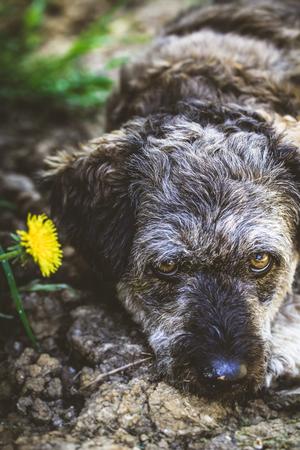 dog tick: Small dog close up. Mixed breed dog head shot. Dog in nature Stock Photo