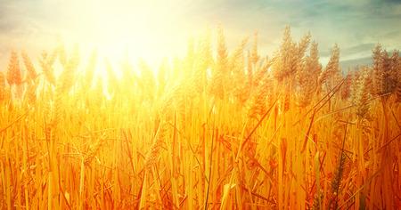 Weizenfeld. Schöne Natur-Sonnenunterganglandschaft. Ländliche Landschaft mit goldenem Weizen. Landwirtschaftshintergrund mit Ernte Standard-Bild - 81117831