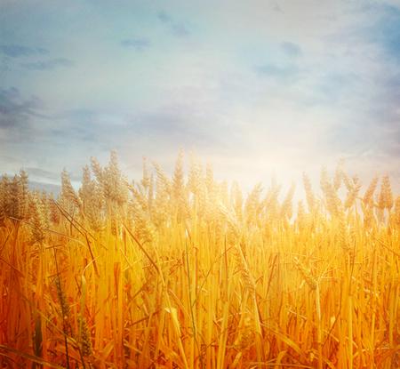Weizenfeld. Schöne Natur-Sonnenunterganglandschaft. Ländliche Landschaft mit goldenem Weizen. Landwirtschaftshintergrund mit Ernte Standard-Bild - 81122220