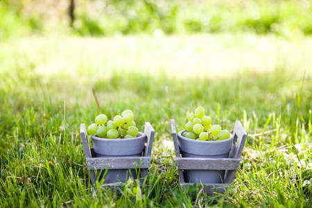 Grapes harvest.Fresh grapes in basket.