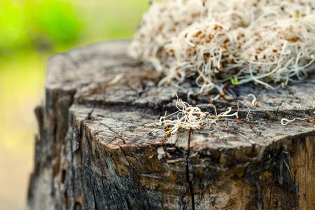 Heathy eating food. Alfalfa sprouts on wood