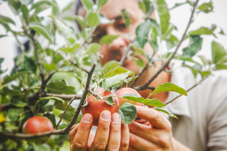 Apples harvest. Farmers hands with apples on a branch Stockfoto
