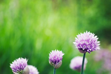 Fresh chives flower over colorful background. Spring or summer floral background 版權商用圖片