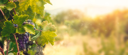 Nature background with Vineyard in autumn harvest. Ripe grapes in fall. Banco de Imagens