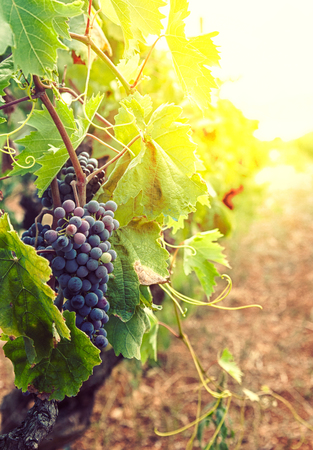 Nature background with Vineyard in autumn harvest. Ripe grapes in fall. Standard-Bild