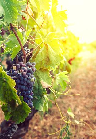Fondo de naturaleza con viñedo en cosecha de otoño. Uvas maduras en otoño. Foto de archivo