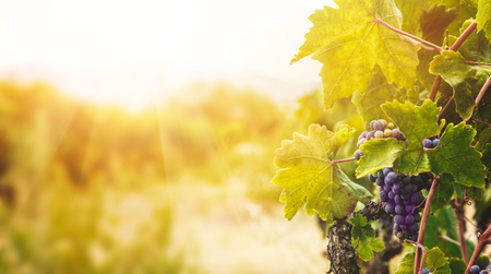 Nature background with Vineyard in autumn harvest. Ripe grapes in fall. Reklamní fotografie