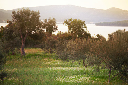 Mediterranean olive field. Olive tree in orchard, Olive harvest