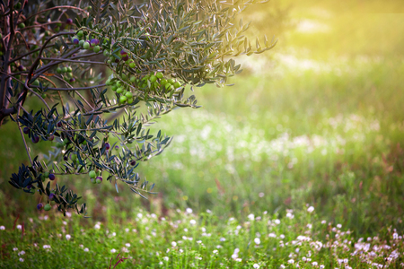 Mediterranean olive field. Olive tree in orchard, Olive harvest