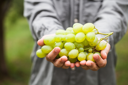 Grapes harvest. Farmers hands with freshly harvested white grapes.