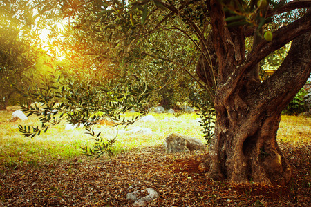 Mediterraan olijfveld. Olijfboom in boomgaard. Olijfoogst