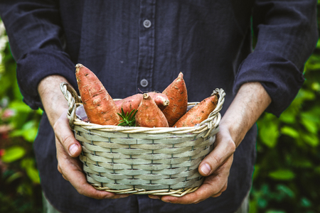 Organic gardening. Farmers hands withsweet potatoes.  Spring gardening Stockfoto